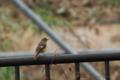 [鳥]ジョウビタキ