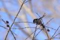 [鳥]エナガ