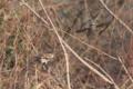 [鳥]ツグミ&ヒヨドリ