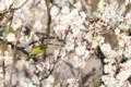 [鳥][花]梅とめじろ