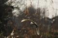 [鳥]コサギ飛翔