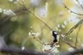 [鳥][花]梅とシジュウカラ