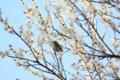 [鳥][花]うめとめじろ