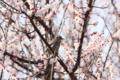 [鳥][花]梅とヒヨドリ