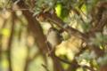[鳥]ウグイス
