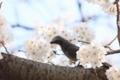 [桜][鳥][花]ヒヨ