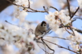 [桜][鳥][花]すずめ