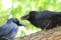[鳥]カラス