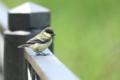 [鳥]シジュウカラ幼鳥