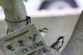 [鳥]シジュウカラ親子
