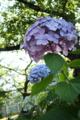 [花]紫陽花