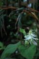 [花]ドクダミ