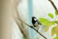 [鳥]シジュウカラ
