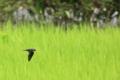 [鳥]ツバメ