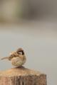 [鳥]スズメ