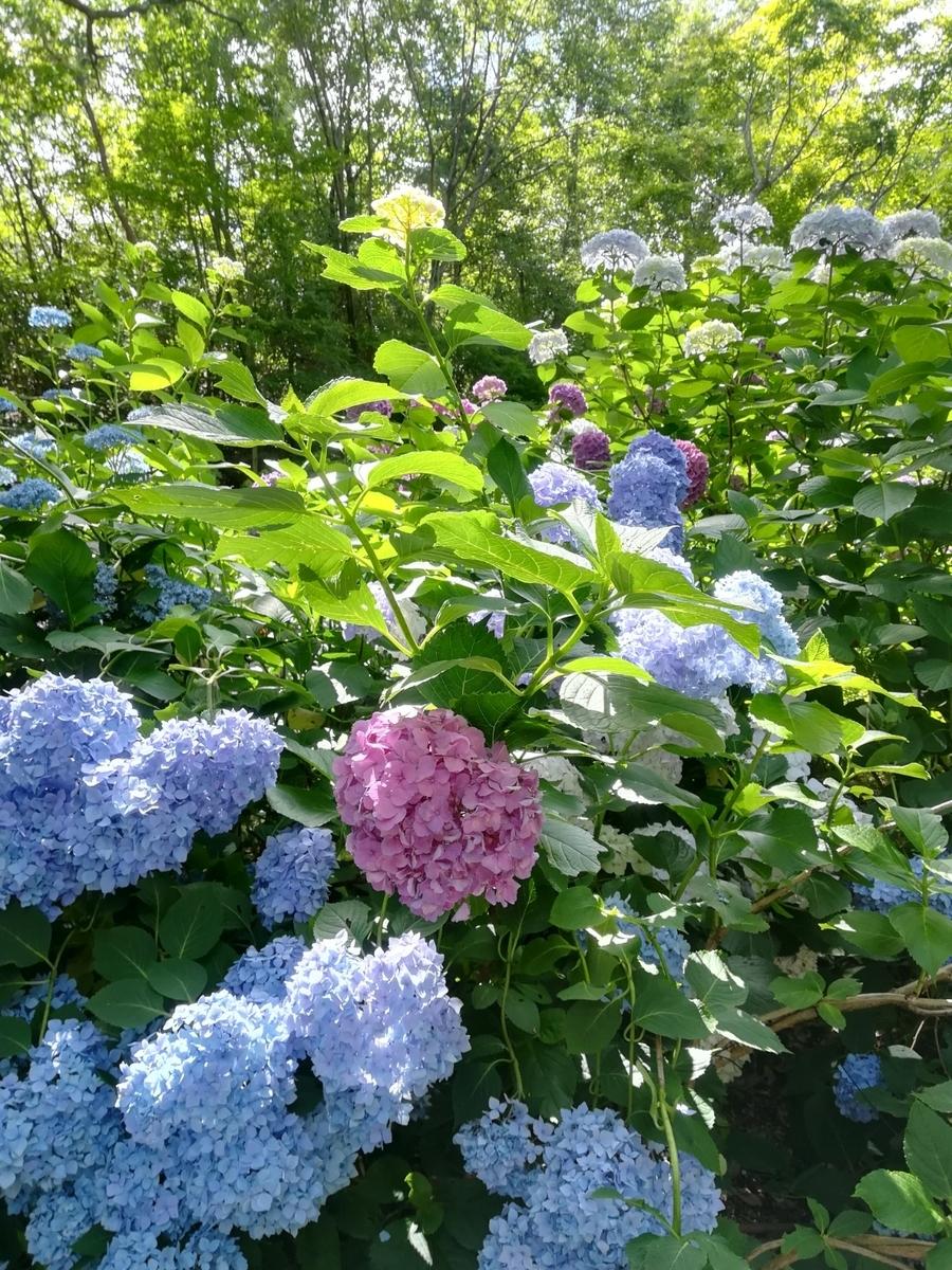 神戸市立森林植物園 あじさい