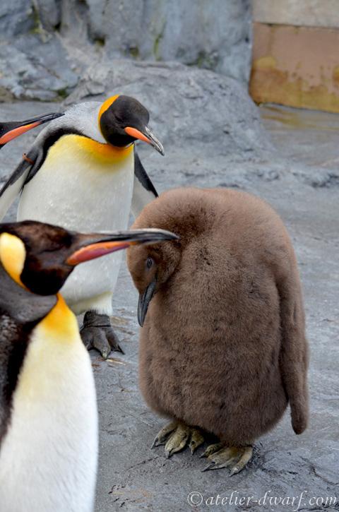 キングペンギンのヒナの画像