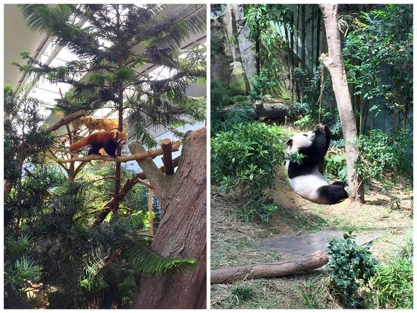 Singapore Liver Safari Panda 2016-10-08