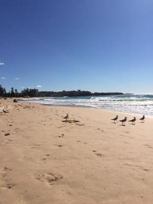 オーストラリア シドニー マンリービーチ カモメの行進