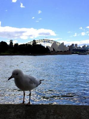 オーストラリア、シドニーのミセス・マックォリーズ・ポイント オペラハウスとハーバーブリッジとカモメ