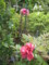 2011531牡丹2