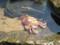 菜種島・蟹さん