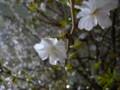 [桜][長居公園]