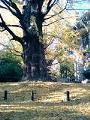 [散歩]日比谷公園の紅葉した銀杏