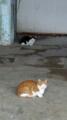 [猫]有楽町高架下センター商店会の猫