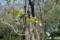 小石川植物園〜カリン(バラ科)