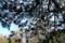 小石川植物園〜ヒマラヤゴヨウ(マツ科)