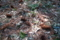 小石川植物園〜ハリモミ(マツ科)