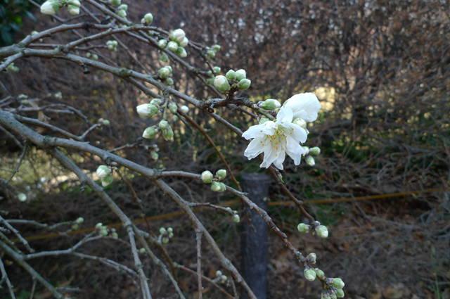 小石川植物園〜モモ/残雪枝垂(バラ科/園芸品種)