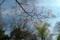 小石川植物園〜ベニコブシ(モクレン科)