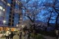 [散歩]千鳥ヶ淵の桜
