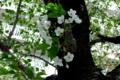 [散歩]墨田区文花辺りの桜