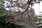 西新宿ヒルトンの八重桜