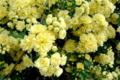 [散歩]垣根に咲きほこるモッコウバラ