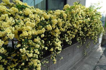 垣根に咲きほこるモッコウバラ 垣根に咲きほこるモッコウバラ  個別「[散歩]垣根に咲きほこるモッ