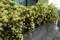 垣根に咲きほこるモッコウバラ