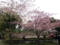 皇居東御苑、河津桜(バラ科)