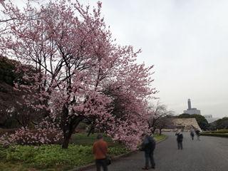 皇居東御苑、椿寒桜(バラ科)