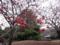 皇居東御苑、寒緋桜(バラ科)