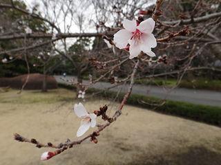 皇居東御苑、冬桜(バラ科)