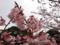 皇居東御苑、寒桜(バラ科)