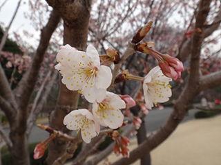 皇居東御苑、支那実桜(バラ科)