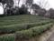 皇居東御苑、茶畑(ツバキ科)