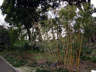 皇居東御苑、竹林