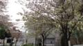 [散歩]佃の桜、鬱金(ウコン)