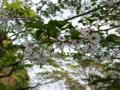 [散歩]皇居東御苑、昭和桜(バラ科)